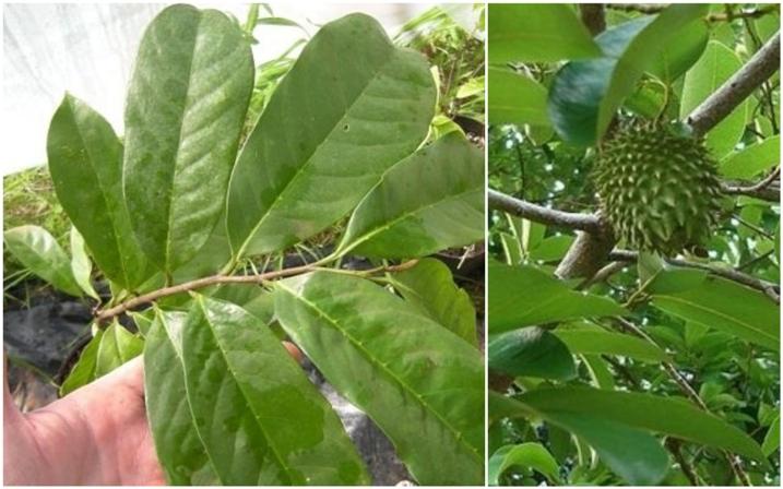 Para que sirven las hojas de la guanabana