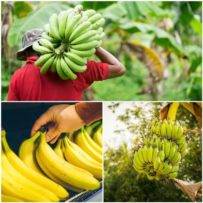 información sobre diabetes relacionada con carbohidratos en plátanos